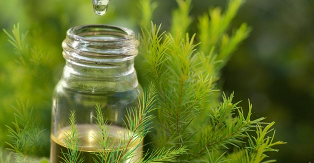 Tinh chất từ lá tràm trà có khả năng diệt khuẩn hỗ trợ trị mụn nhanh chóng